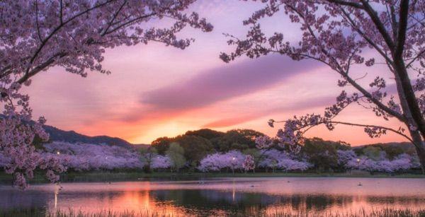 Meravigliose immagini della fioritura dei ciliegi in - Foto della bandiera del giappone ...